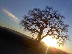 Discovery Drive, Livermore California. The lone Oak Tree along the pathway. Taken with my ipod touch, unaltered :D