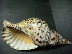 shells | shells triton s trumpet trumpet shells turritella shells turbo shells ...