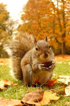 One of the squirrels at Cannizaro park in Wimbledon, enjoying one of the Chestnuts fall art