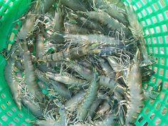 Nâng cao chất lượng tôm trước khi thu hoạch | Vietnam Aquaculture Network - Mạng Thủy sản Việt Nam