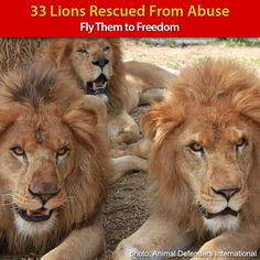 Ive never posted donation requests but this is exceptional. Fly Lions to Freedom! at The Animal Rescue Site The Lion Sleeps Tonight, Work With Animals, Animal Rescue Site, Animal Welfare, Big Cats, Lions, Thing 1, Freedom, Wildlife