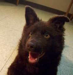 Schipperke/Border Collie Mix: An adoptable dog in #Minot, #NDAKOTA ........... somebody #adopt this eager to please fluff-puff-pup with bright gold eyes <3 !!