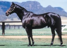 Bletchingly (AUS) 1970 (Biscay-Coogee), 3 times champion sire of Australia. His son, Kingston Town was Australian Horse of the Year 1979-80 and was the first horse to win $1M in prize money Sep 19 1981 (STC Cup).