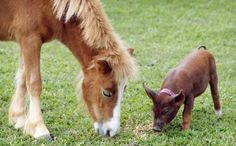 Horse and piglet, funny animal pic
