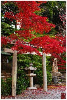 Torii with red maple tree, Komyo-ji temple