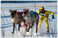 Skijoring - but with reindeer?  Awesome!  Too bad I will only be there in the summer!