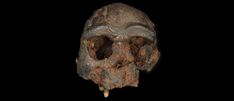 New evidence in search for the mysterious Denisovans Homo Floresiensis, University Of Adelaide, Scientific Articles, Komodo Dragon, Human Evolution, Natural History Museum, Out Of Africa, Large Animals, Genetics