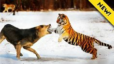 Tiger Fighting To Death is the best fighting of the tiger attacks man, crocodile,dog, bear, lion in real life.Tigers have the most powerful paw swipes in the cat family so tiger fighting to death. ►►► WHO WOULD WIN on the fighting of tiger vs man,dog,bear,lion ?