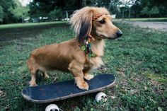 Long-Haired Miniature Dachshund. Such a cutie patootie, much suave.