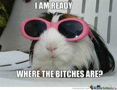 funny guinea pig - Google Search