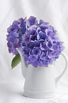 Pot of Hydrangea Most Beautiful Flowers, Pretty Flowers, Large Flowers, Fresh Flowers, Hortensia Hydrangea, Hydrangeas, Lavender Cottage, Shabby Chic, Garden Trees