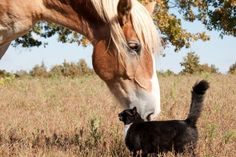 Belgian Draft horse and cat