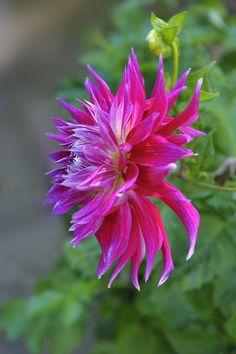 Dahlia | Flickr - Photo Sharing!