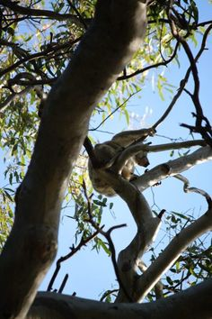 The best place to see Koala Bears in Noosa Heads- 7 unforgettable things to do along Australia's Sunshine Coast #australia #sunshinecoast #noosaheads #simplywander Sand Island, Koala Bears, Kayak Tours, Sunshine Coast, Kayak Camping, Coast Australia, European Travel, Places To See, Wander