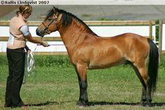 Gotland Pony - stallion Allgunnens Valdör