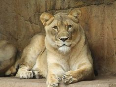 Isis the Lioness @ Brookfield Zoo taken by me