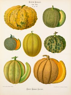 A Chromolithograph plate of Melon varieties taken from the Album Benary. The Album contains 28 colour plates in total of vegetable varieties by Ernst Benary which are named in the accompanying page in German, English, French and Russian. Creator: Benary, Ernst (1819-1893). Date: 1877