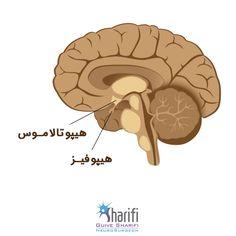 رابطه بین هیپوتالاموس و غده هیپوفیز چیست؟  http://gsharifi.com/hypothalamus-and-pituitary-gland-relationship/  #هیپوتالاموس #هیپوفیز #مغز_اعصاب #پزشکی #سلامت #مغز #hypothalamus #pituitarygland