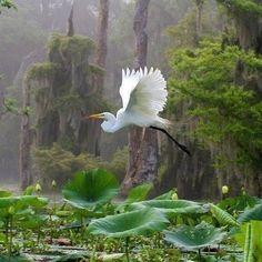 Egret Over Lotuses