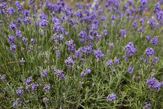 97375 Lavandula Angustifolia, Cottage, Garden, Plants, Garten, Cottages, Gardens, Cabin, Planters