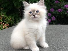 Sacred Birman Kitten | Cattery Aydina Blue | The Netherlands | www.kittentekoop.nl