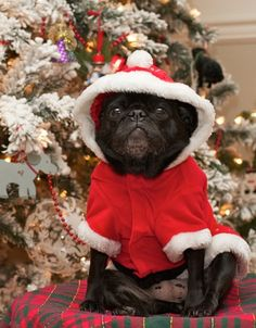 Pug Christmas Card...seriously I used to really like you