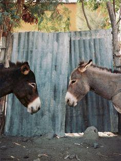 Its donkey romance! Cute Donkey, Mini Donkey, Farm Animals, Animals And Pets, Cute Animals, Animal Magic, My Animal, Donkey Rescue, Miniature Donkey