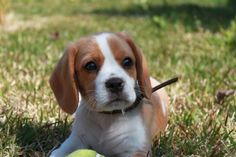 The Beaglier is a mix of Beagle and Cavalier King Charles Spaniel.