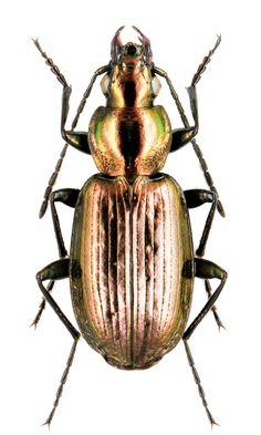 Agonum ericeti – Carabidae