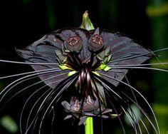 flor murcielago