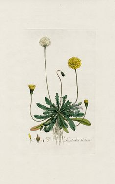 Dandelion, Leontodon hirlum from Tiny Flora Londinensis Daisy, Viola, Orchid Botanical Engravings Vintage Flower Prints, Vintage Botanical Prints, Botanical Drawings, Antique Prints, Botanical Art, Vintage Botanical Illustration, Botanical Posters, Botanical Flowers, Botany Illustration