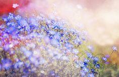 Field of Blue by Captured by Karen, via Flickr