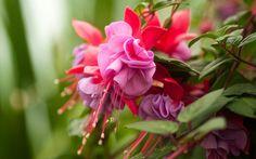 фуксия, розовые, цветы, листья, сиреневые