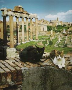 "The Cats of Rome; Rome's cats are largely feral and prowl the ancient monuments of the city.  Nearly 300,000 feral cats live in the 200 Roman colonies and Rome's city council have named the cats living in the Coliseum, the Forum and Torre Argentina a part of the city's ""bio-heritage"". I want to see them!"