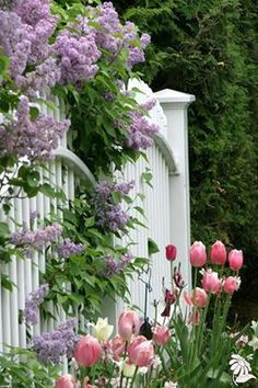 lilacs cascading over white fence with pink tulips - lovely!