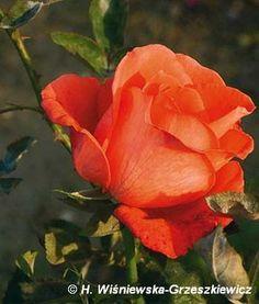 Róża wielkokwiatowa 'Super Star' (Tropicana') Rosa 'Super Star' ('Tropicana')  Kwiaty są pomarańczowo-cynobrowe, duże - ok. 12 cm średnic...