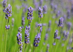 There are more to lavender than being a soothing essential oil, fragrance, or a warm delicious tea. The uses of this plant have extended to include relief. Home Remedies, Natural Remedies, Dry Scalp Remedy, Lavender Benefits, Health Benefits, Creme, Essential Oils, Fragrance, Homemade