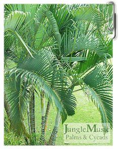 Veitchia montgomeryana Palm Tree Live Rare Tropical Large