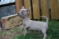 chihuahua rare solid lilac puppy tiny