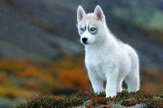 Twitter / ThatsEarth: Siberian Husky Pup ...