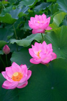 27 best lotus flowers images on pinterest lotus flower beautiful the pink lotus flower is perhaps one of the most celebrated flowers that there is mightylinksfo