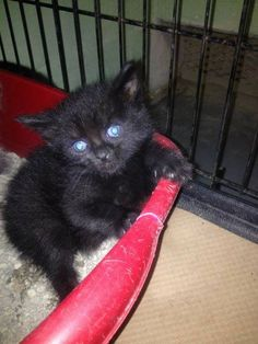 MIDNIGHT HAS BEEN RESCUED !!  THE 472ND CAT RESCUED FROM CCAC IN 2015  2 JUN @10AM ET - PULLED FOR RESCUE BY CAT ADOPTION TEAM, WILMINGTON, FOR FOSTER CARE