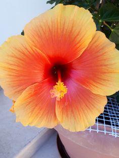 Ιβισκος Flowers, Florals, Flower, Bloemen