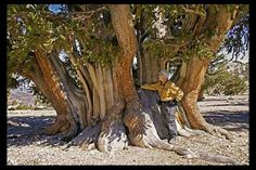 World's largest Bristlecone Pine is 4000 years old located in the White Mountains