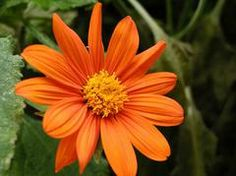 Common Name: Mexican sunflower Type: Annual Family: Asteraceae Zone: 2 to… Mexican Sunflower, Mexican Flowers, Types Of Sunflowers, Drought Tolerant Garden, Full Sun Plants, Sun And Water, How To Attract Hummingbirds, Annual Flowers, Evergreen Shrubs