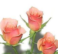 "Salmon/pink spray roses. ""Ilse"""