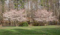 Cherry Blossoms:  Spring, 2013