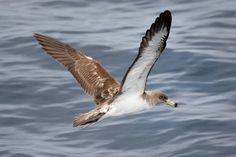 Cory's Shearwater | Audubon Field Guide