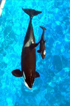 mother/baby killer whale