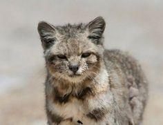 gato andino - Buscar con Google